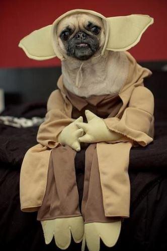 パグ犬のおもしろヨーダコスプレ画像