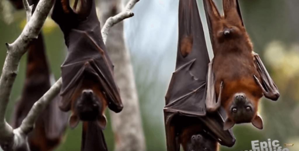 フィリピンオオコウモリ